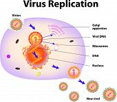 pic of viral infection  - Scheme of virus replication cycle - JPG
