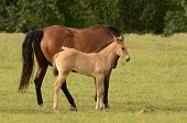 picture of paint horse  - American paint mare and colt horse on a cattle ranch in the Umpqua Valley near Roseburg Oregon - JPG