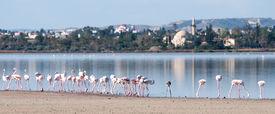 image of larnaca  - Group of Flamingo birds in the Salt lake of Larnaca Cyprus - JPG