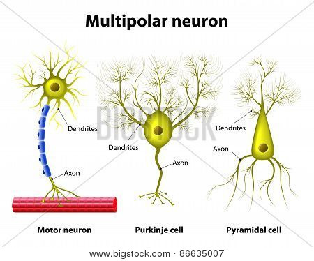 Types of a multipolar neurons poster id86635007 different kinds of a multipolar neurons pyramidal cell purkinje cell and motor neuron human anatomy poster id 86635007 ccuart Images
