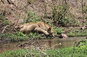 foto of african lion  - African lion while is drinking water from a hole - JPG