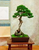 picture of bonsai  - Bonsai tree with twisted trunk vertical image - JPG