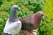 foto of pigeon  - Macro shoot of a colrfull couple of pigeons - JPG