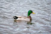image of male mallard  - mallard male swimming on a lake - JPG