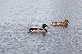 foto of male mallard  - mallard couple swimming on a lake - JPG
