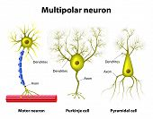 picture of nerve cell  - Different kinds of a multipolar neurons - JPG
