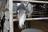 picture of horses eating  - piebald horse in the stall quietly eats food and stares around - JPG