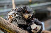 stock photo of marmosets  - Callithrix Geoffroyi Small Black and White Monkey  - JPG