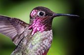 stock photo of hummingbirds  - An Anna