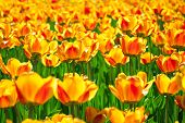 foto of orange blossom  - it is yellow orange flowers of tulips blossomed in the spring - JPG