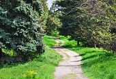 pic of coniferous forest  - Rural road in coniferous forest - JPG
