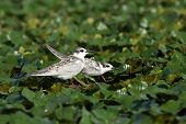 pic of tern  - juveniles whiskered tern on water plants  - JPG