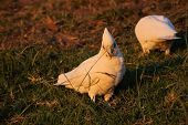 foto of cockatoos  - Cockatoo - JPG