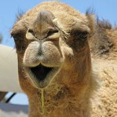 image of dromedaries  - A portrait of a Arabian camel or Dromedary with a facial expression in Australia - JPG