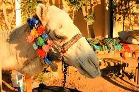 pic of camel  - Camel - JPG