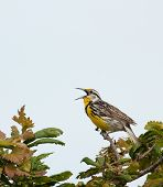 stock photo of meadowlark  - Western meadowlark Sturnella neglecta singing from atop a tree - JPG
