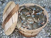 stock photo of blue crab  - photo of a bushel basket of live blue crabs from the chesapeake bay of maryland - JPG