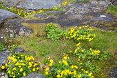 stock photo of faro  - Caltha palustris the national flower of the faroe islands known as marsh - JPG