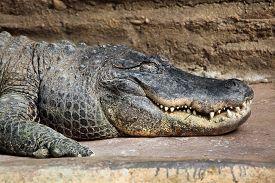 stock photo of gator  - American alligator  - JPG
