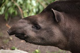 pic of terrestrial animal  - South American tapir  - JPG