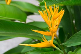 picture of heliconia  - Heliconia flower or Golden torch in yellow - JPG