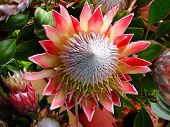 image of hawaiian flower  - A beautiful flower growing in the wild on the countryside of a Hawaiian island - JPG