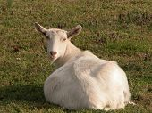 foto of saanen  - Pregnant Saanen goat basking in the sun sitting in the grass looking over her back at the camera - JPG