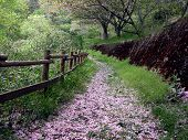 picture of beautiful flower  - a beautiful path in the forest in the end of the  spring covered by cherry blossoms petals - JPG