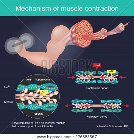 The Muscle Contraction As A