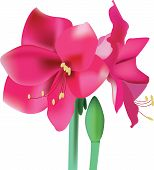 pic of belladonna  - Beautiful blooming pink flower amaryllis vector illustration - JPG