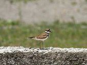 image of killdeer  - This Killdeer was hunting in a vacant city lot in Upstate New York.