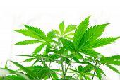 Grow In Grow Box Tent. Home Grow Legal Recreational Cannabis. Marijuana Business. Cannabis Flower In poster