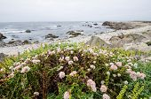 Pink Wildflowers Grow Near The Coastline Of The Pacific Ocean In California Along The Pacific Coast  poster