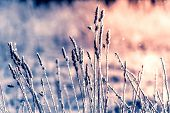 Hoarfrost On Dry Grass. Frosted Grass At Cold Winter Day, Natural Winter Background. Dry Grass Cover poster