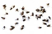Fly, Pile Fly, Many The Bulk Of The Flies Fly Dead On White Ground, Flies Are Carriers Of Typhoid Tu poster