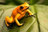 poison dart frog, Phyllobates terribilis orange. Most poisonous animal from the Amazon rain forest i poster