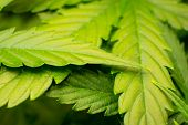 In Door Grow Hemp. Green Background Of Leaves. Northern Light Strain. Medicinal Indica With Cbd. You poster