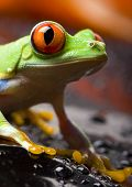 stock photo of tree frog  - Red eye frog - JPG