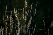 Closeup Of Grass. Grass With Spider Web On The Background Of River. Wild Grass. Nature Grass Near Th poster