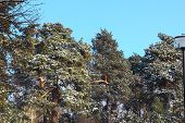 Pine Branches , The Tip Of The Branches Of Pine Tree Against, Blue Sky Background. The Tips Of The P poster