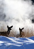 image of mule deer  - a pair of mule deer - JPG