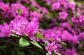 Azalea. Bright And Juicy Flowers On The Azalea Bush. Floral Background With Beautiful Flowers. poster