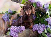 dachshund dog brown tan color and lilac purple poster