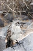 picture of mockingbird  - Mockingbird perched on volcanic rock in the Galapagos Islands - JPG