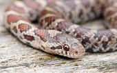 image of harmless snakes  - Photograph of a baby Milk Snake coiled up on a piece of dead wood in a midwestern wildlife park - JPG