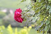 stock photo of climbing roses  - Climbing roses at the Palace of Johannisberg Rheingau Hesse Germany - JPG
