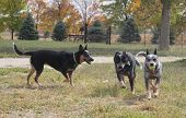 stock photo of blue heeler  - Three Blue Heeler Dogs playing with a ball - JPG