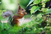 picture of hazelnut tree  - Eurasian red squirrel  - JPG