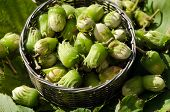 stock photo of cobnuts  - Wicker metal dish full of raw cobnuts - JPG