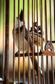 image of spigot  - A spigot bird in wood cage at thailand - JPG